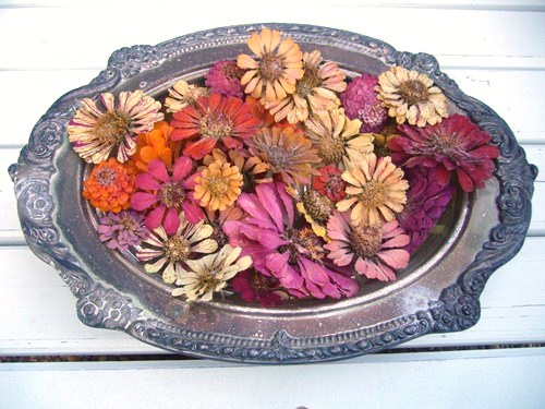 Microwave dried zinnias