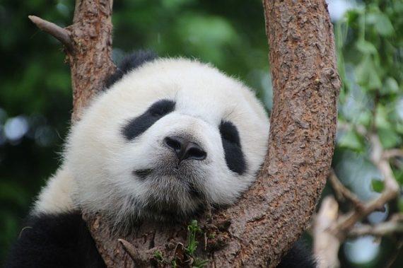 panda-1236875_640